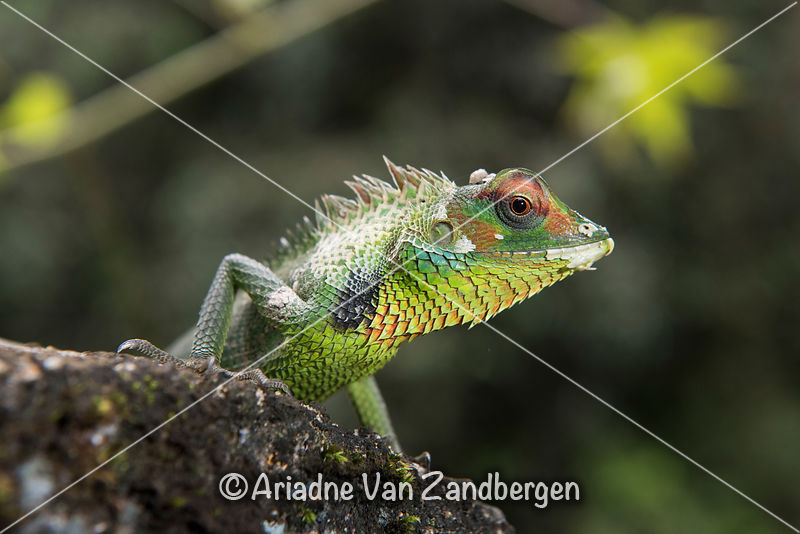 Common green forest lizard, Calotes calotes, Sinharaja Forest Reserve, Sri Lanka