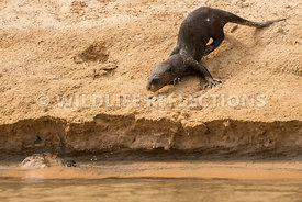 giant_otter_sand_slide-1