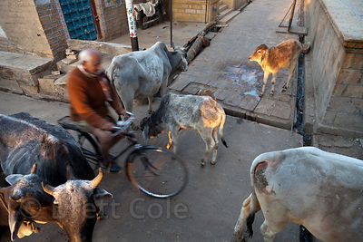 A man rides his bike through a group of cows at sunrise, Jaisalmer, Rajasthan, India
