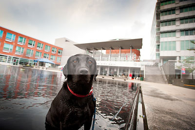 wet black lab dog sitting in urban pool water downtown
