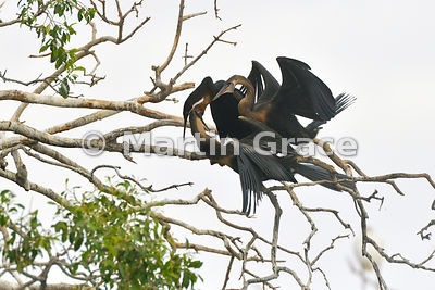 A male African Darter or Anhinga (Anhinga rufa (melanogaster)) feeding one of its two fledglings, River Chobe, Botswana