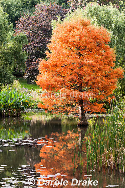 Taxodium distichum in the pond at Sir Harold Hillier Gardens