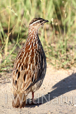 crested francolin/Krattfrankolin - South Africa