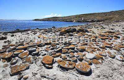 Yellow lichen-covered rocks above the strand line, beach west of The Plain, Carcass Island, Falkland Islands