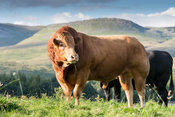 Limousin bull in with herd of commercial uckler beef cattle in the uplands, Cumbria, UK.