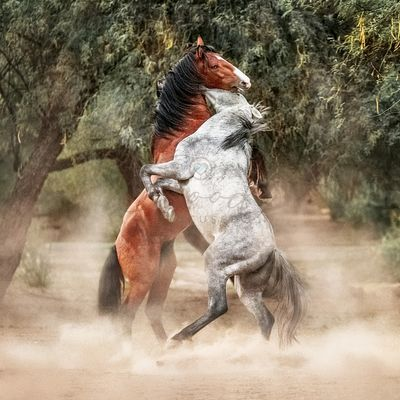 Wild Horses Rearing Up Play Fighting
