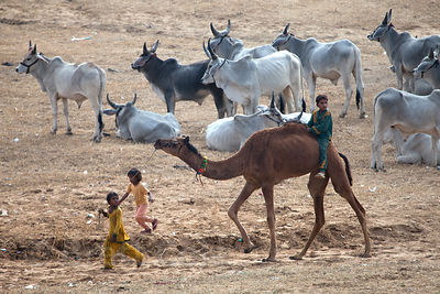 Children ride a camel at the 2010 Pushkar Camel Fair, Rajasthan, India
