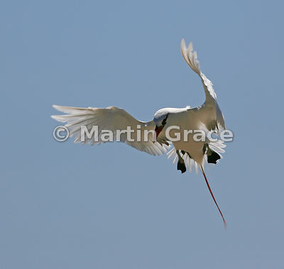 Red-Billed Tropic Bird (Phaethon aethereus) in flight, Nosy Ve Island, Madagascar