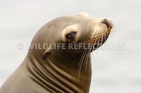 California Sea Lion Juvenile Lookin Over