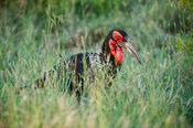 Southern ground hornbill, Bucorvus leadbeateri, Kruger National Park, South Africa
