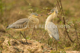 whistling_heron_chicks-2