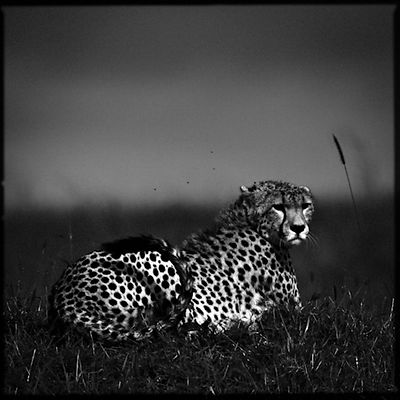 Cheetah in the kenyan plain © Laurent Baheux