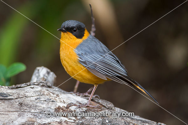 Chorister Robin-Chat, Cossypha dichroa, Wilderness, South Africa