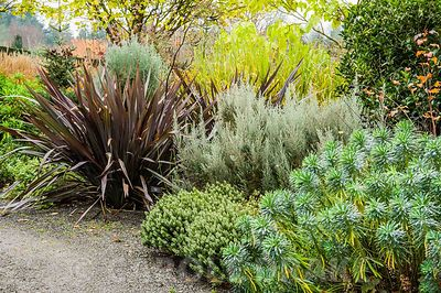 Border of silver foliage plants in autumn with Euphorbia characias subsp. wulfenii, Hebe 'Red Edge', Ozothamnus rosmarinifolius 'Silver Jubilee' and contrasting dark leaved Phormium tenax 'All Black'.