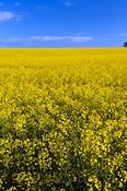 Oilseed Rape or Canola at flowering stage.