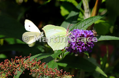 Female Brimstone (Gonepteryx rhamni) being investigated by a movement-blurred amorous flying male Small White (Pieris rapae) on Buddleia (Buddleia davidii), Cumbria, England