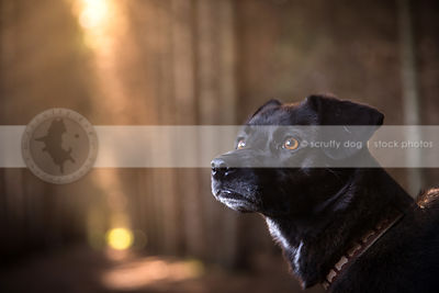 portrait of little black puggle dog in pine forest with bokeh background