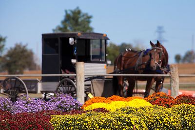 Horse-drawn carriage and flowers for sale at a wholesale market in Amish country, Lancaster, Pennsylvania
