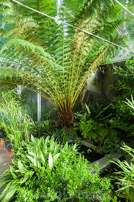 Conservatory built between the house and the rocky outcrop behind it, is home to a range of plants that would not survive in the open garden including a tree fern, Dicksonia antarctica, Cyperus involucratus and aspidistras. Windy Hall, Windermere, Cumbria, UK