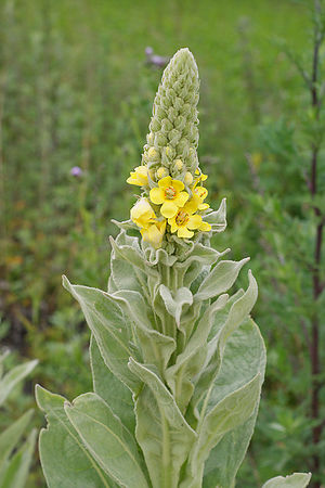 Verbascum species