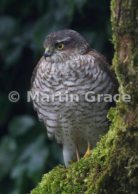 Juvenile male Eurasian Sparrowhawk (Accipiter nisus) in a domestic garden, Lyth Valley, Cumbria, England