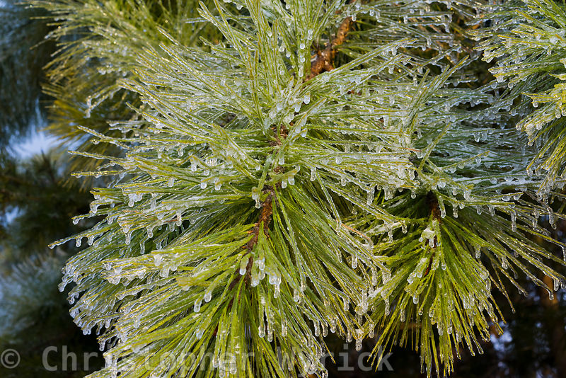 Beautiful frozen pine