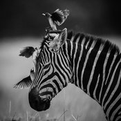 1427-Zebra_and_birds_Kenya_2014_Laurent_Baheux