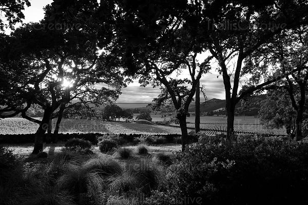The sun sets behind the hills of a Rutherford vineyard in Napa Valley