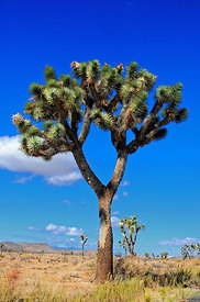 Arbre de Josué Joshua Tree National Park Californie USA 10/12