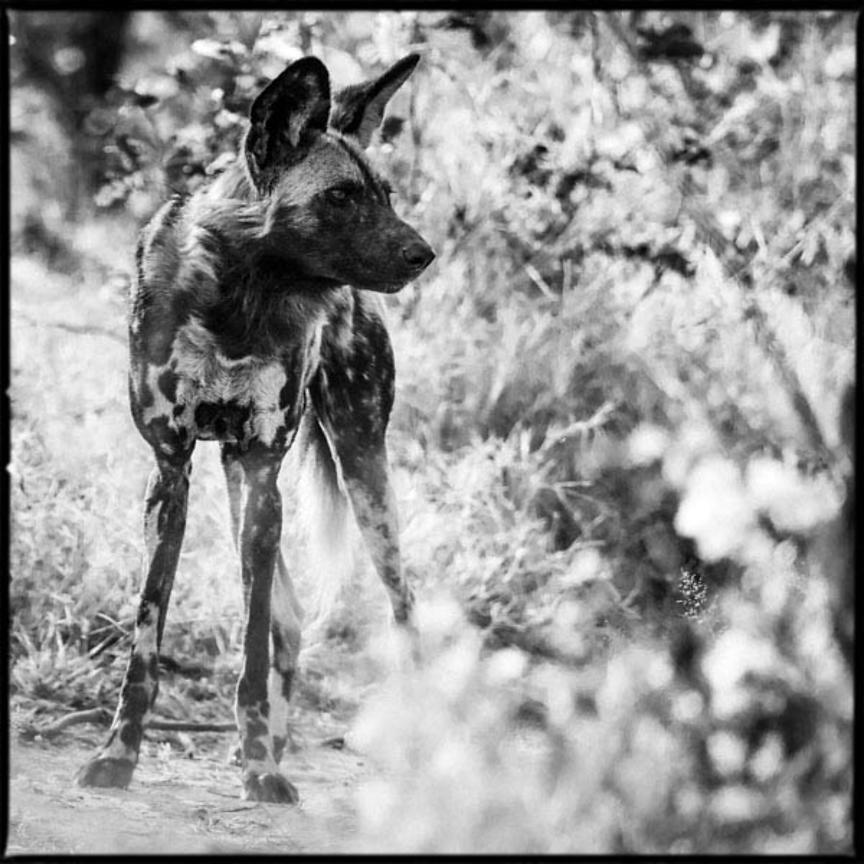 1058-Wild_dog_in_the_grass_Bostwana_2009_Laurent_Baheux