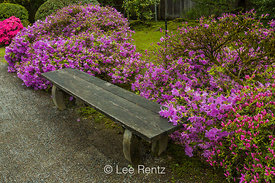 A Bench Among the Azaleas in Seattle's Japanese Garden
