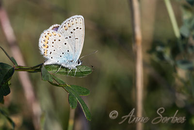 Idas Blue (Plebejus idas) photos