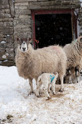 Mule ewe with lamb suckling near a farm building during snowstorm, Cumbria, UK.
