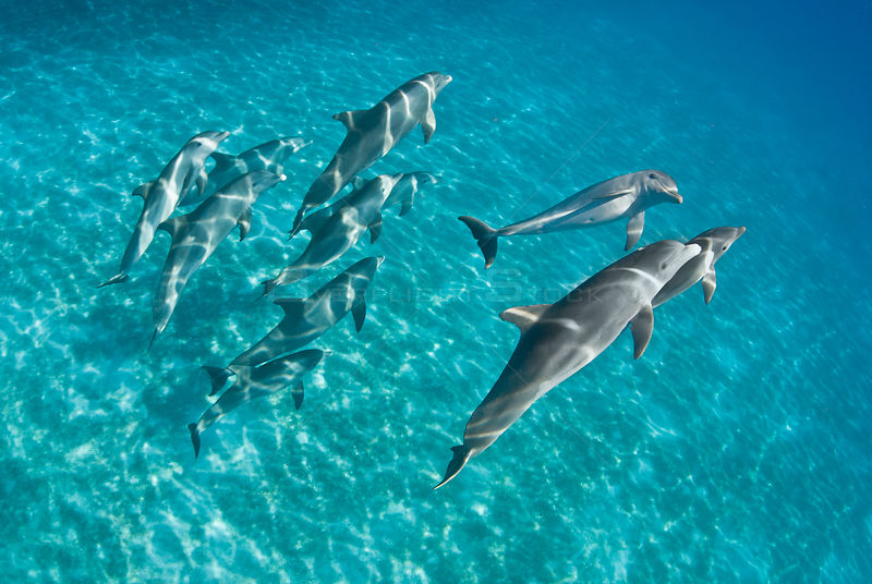 A pod of Bottlenose dolphins (Tursiops truncatus) swimming over a sand bank. Sandy Ridge, Little Bahama Bank. Bahamas.