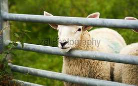 A lamb looking through a gate on a Northumberland farm, England, UK.
