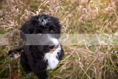 intense black and white puppy looking upward from dried grasses