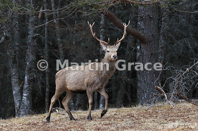 Red Deer stag (Cervus elaphus) in the edge of forestry, Badenoch & Strathspey, Scottish Highlands
