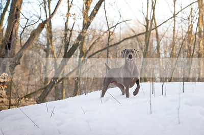 grey weimaraner dog  standing in forest clearing with snow