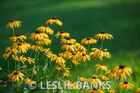 Black Eyed Susan Flowers in the Garden