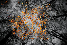 Leaves in Pollok Park, Glasgow 2010...SINGLE USE ONLY..FURTHER USEAGE BY NEGOTIATION. NO SYNDICATION, MERCHANDISING OR MARKETING..Picture Copyright:.Iain McLean,.79 Earlspark Avenue,.Glasgow.G43 2HE.07901 604 365.pictures@iainmclean.com.www.iainmclean.com2010/11.Leaves in Pollok Park, Glasgow...Picture Copyright:.Iain McLean,.79 Earlspark Avenue,.Glasgow.G43 2HE.07901 604 365.pictures@iainmclean.com.www.iainmclean.com.All Rights Reserved.