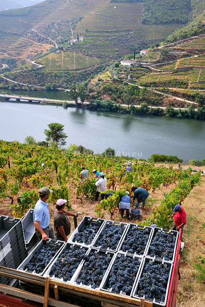 Grapes harvest along the Douro river, near Covelinhas. Alto Douro, a Unesco World Heritage Site, Portugal