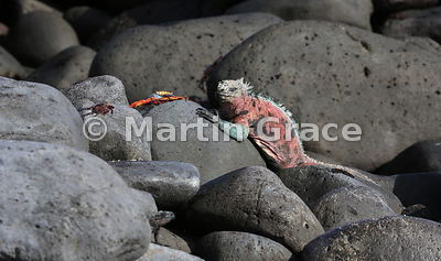 A brightly coloured male Espanola Marine Iguana (Amblyrhynchus cristatus venustissimus) with Sally Lightfoot Crabs (Grapsus grapsus), Punta Suarez, Espanola, Galapagos