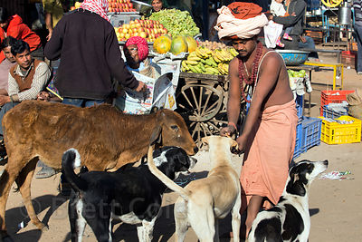Young sadhu feeding cows and street dogs in a market in Pushkar, Rajasthan, India