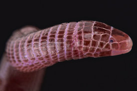 European worm lizard (Blanus cinereus)
