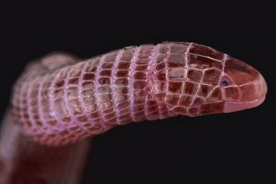 Iberian worm lizard (Blanus cinereus) photos