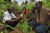 African men listen to an agricultural adviser among undersown maize crop , Kenya , Africa