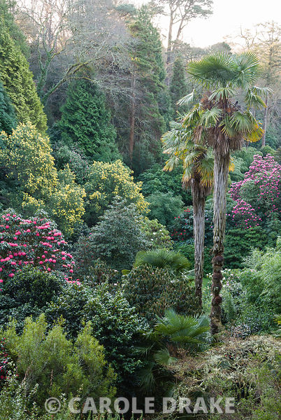 Trachycarpus fortunei, Chusan palms, shoot up amongst a dense mix of Rhododendron arboreum hybrids, bamboos and yellow flowered Acacia dealbata framed by tall conifers, oak and beech. Trebah, nr Falmouth, Cornwall, UK