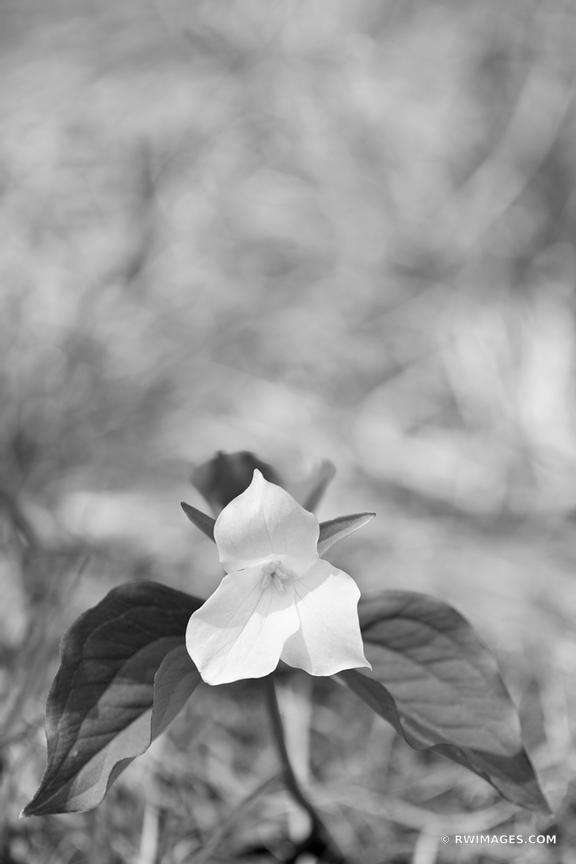 WHITE TRILLIUM SPRING SMOKY MOUNTAINS BLACK AND WHITE