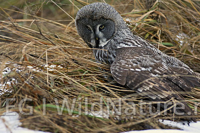 Great-grey owl/Lappugle - Finland