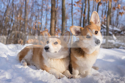 two curious corgis posing in winter snow trees